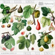 Fruits - Figs - Vintage 1