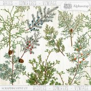 Berries- Conifers - Vintage 1