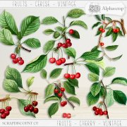 Fruits - Cherry - Vintage 1
